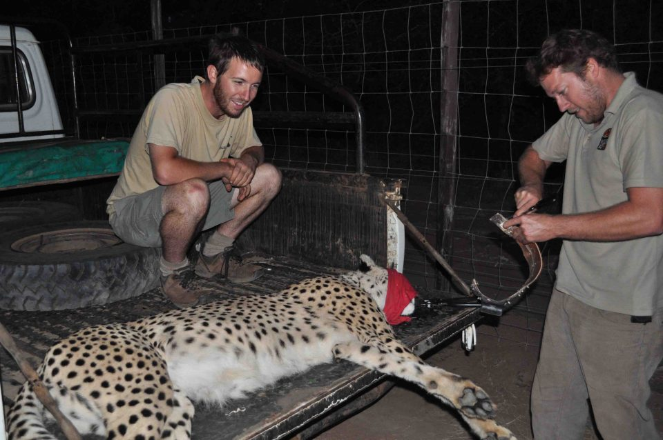 Cheetah collaring - Wildlife ACT - contribute to cheetah conservation