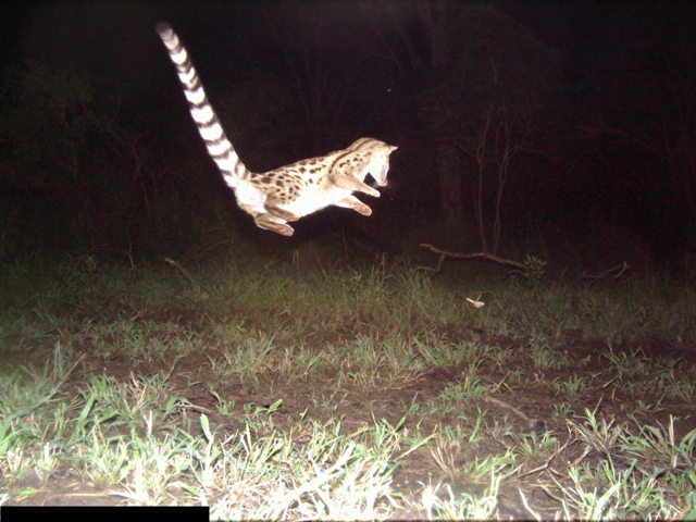 Large-spotted genet camera trap
