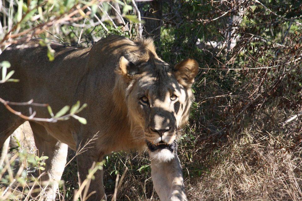 Lion Duma