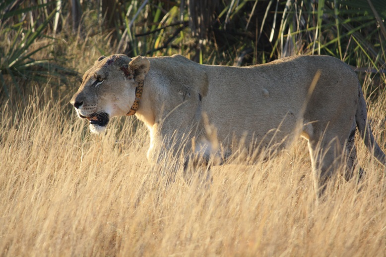 Kampa - collared lioness on Tembe. Lion are a priority species