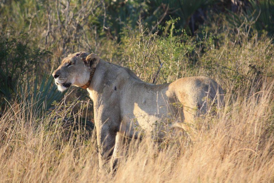 Lion Kampa