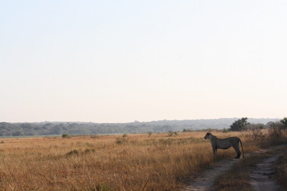 Lion Nkanyezi