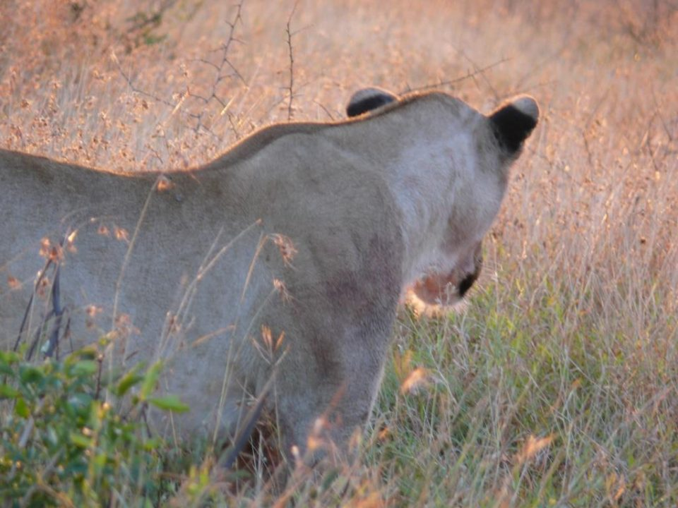 uMkhuze lioness