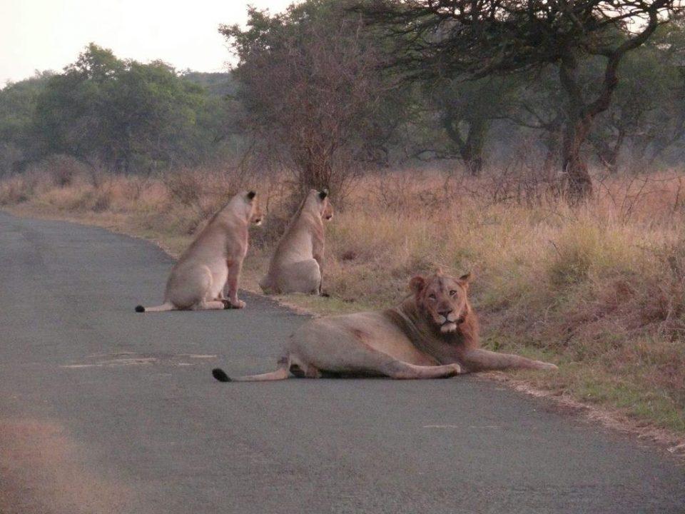 Lion pride uMkhuze