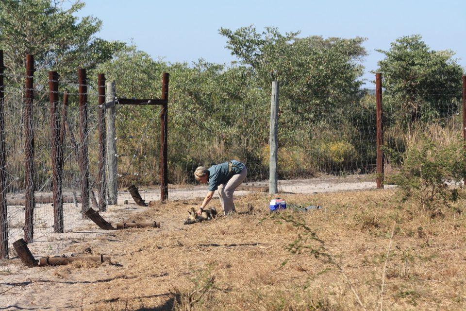Vet Birgit Birgit Eggers checking a wild dog