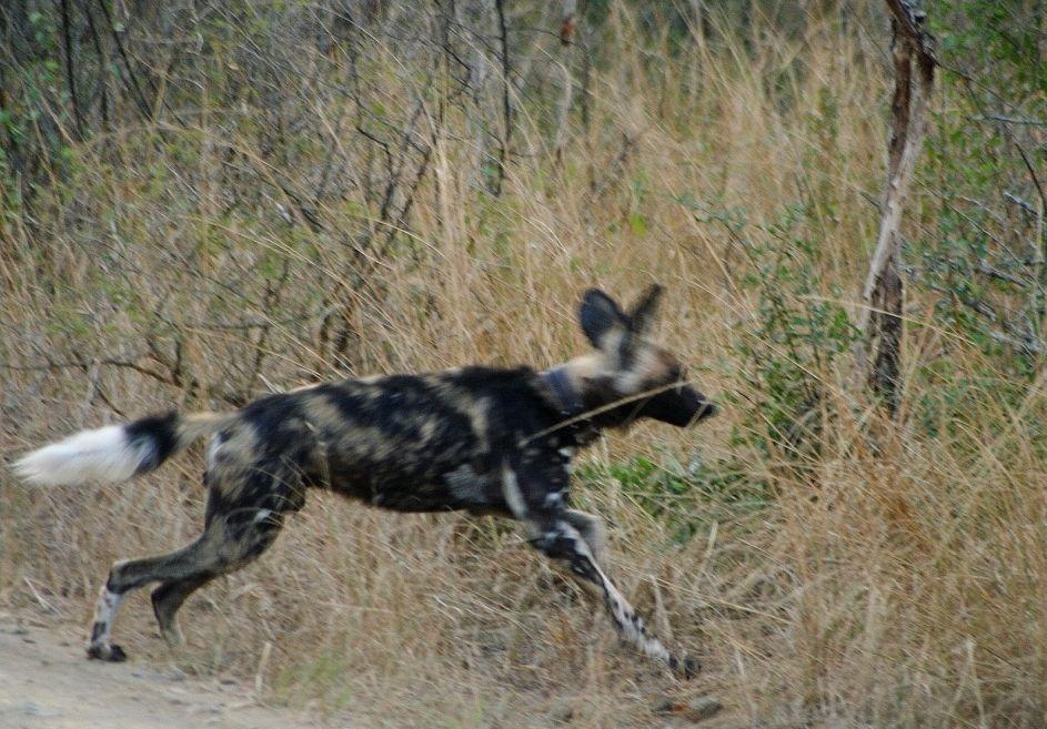 Wild dog Ian
