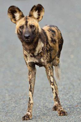 wild dog Thandifa