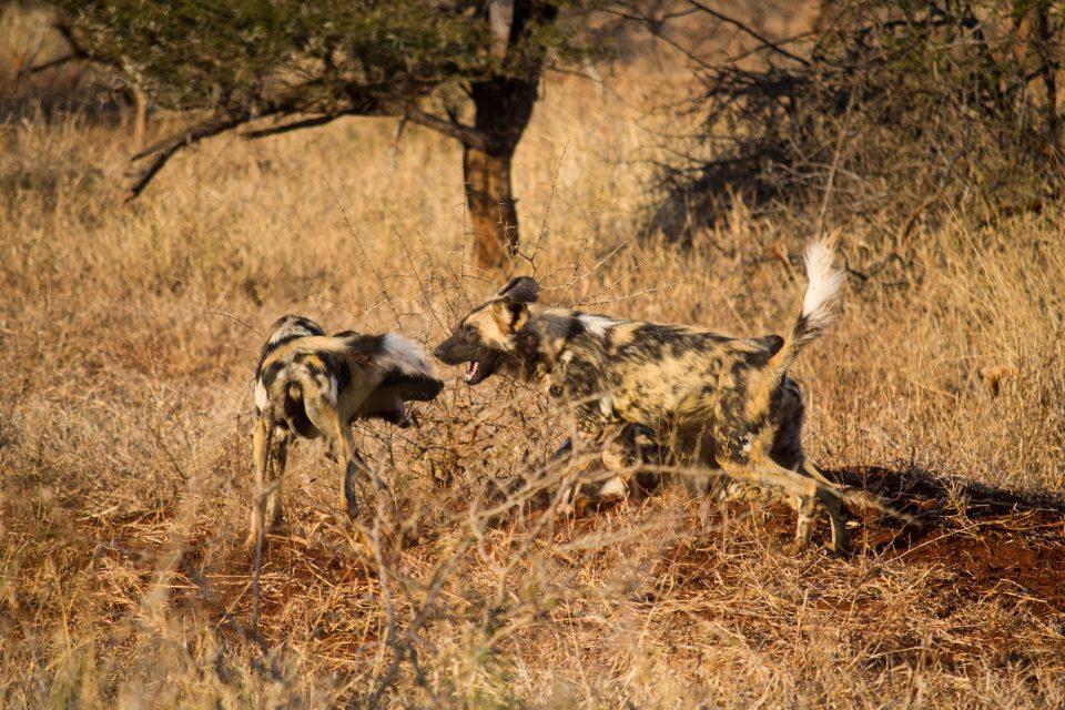 Wild dogs Zimanga