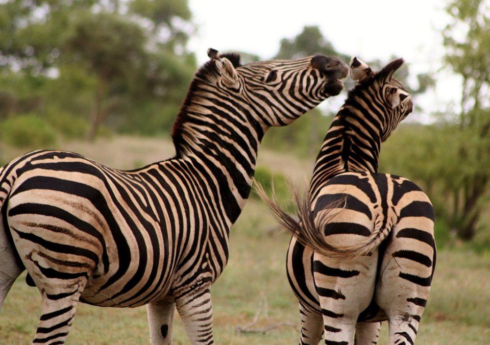 Zebra Zululand Rhino Reserve