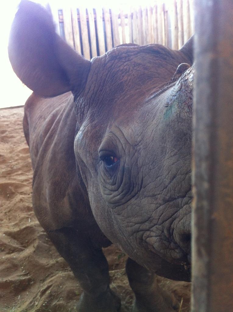 Rhino orphan