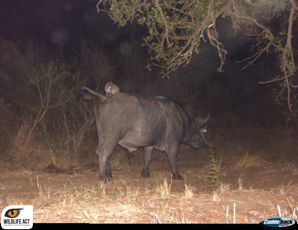 hitch-hiking genet riding rhino and buffalo - camera trap
