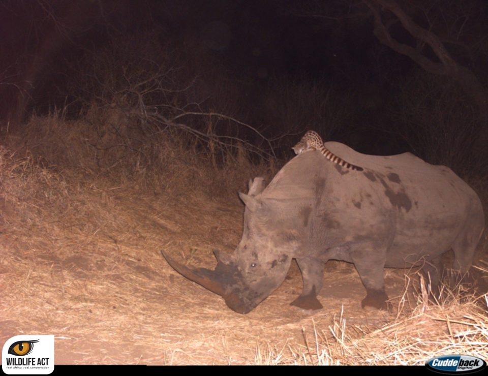 Hluhluwe Camera Trap Hitch-hiking Genet on Rhino