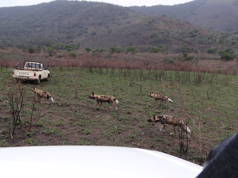 Wild dogs call-up site