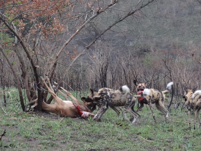 wild dogs feeding