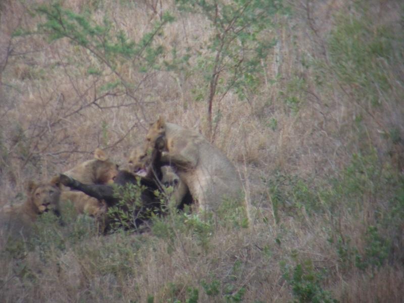 Hluhluwe lion kill