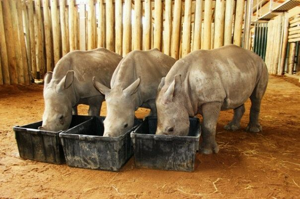 Orphaned rhinos drinking milk