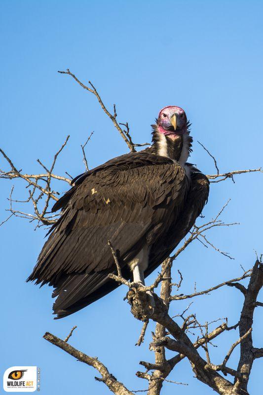 Lappet-faced vulture Antoine Marchal