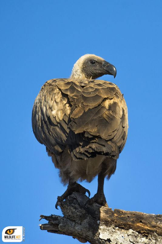 White-backed vulture Antoine Marchal