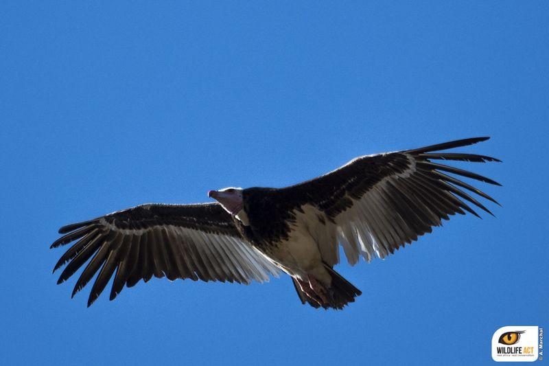 White-headed vulture Antoine Marchal