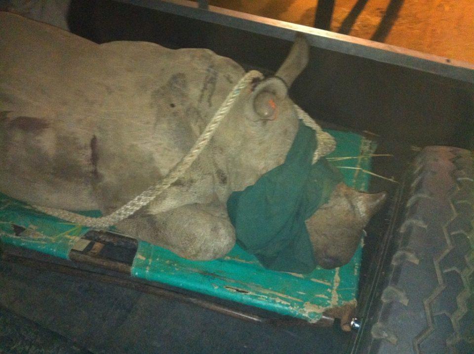 Sedated baby rhino