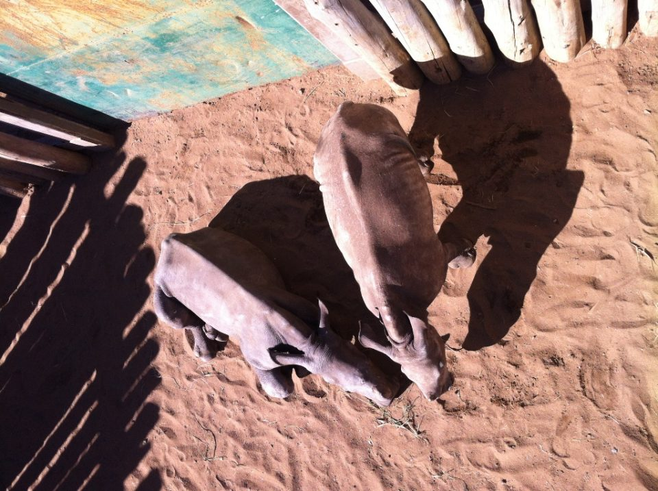 Rhino orphans