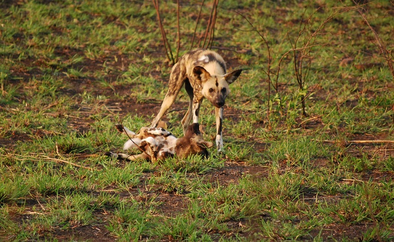 Wild dogs Hluhluwe Puppies 1