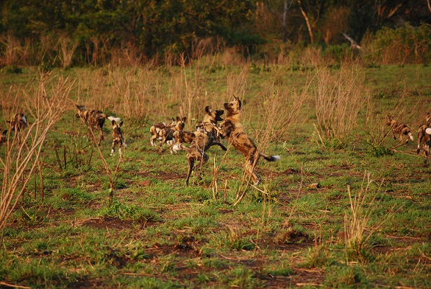 Wild dogs Hluhluwe Puppies 2