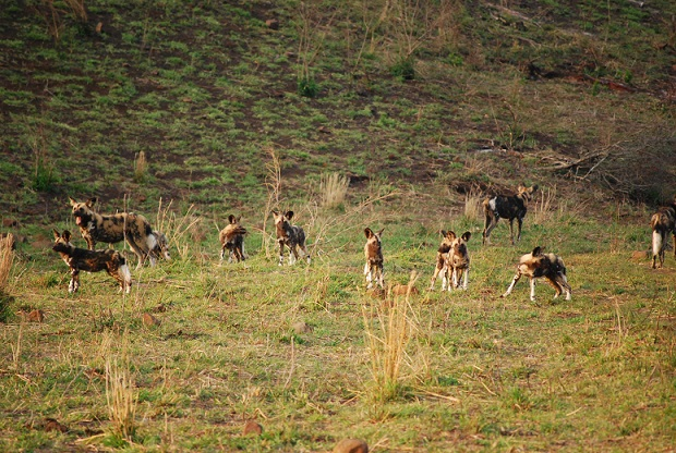 Wild dogs Hluhluwe Puppies 3