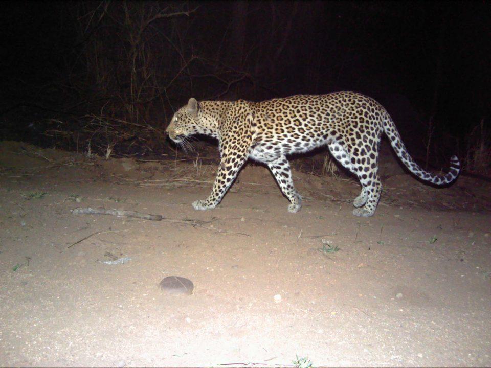 Leopard Emakhosini Ophathe Heritage Park