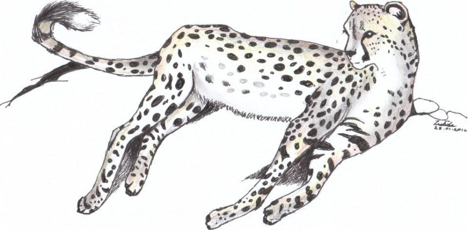 Cheetah drawing ZRR