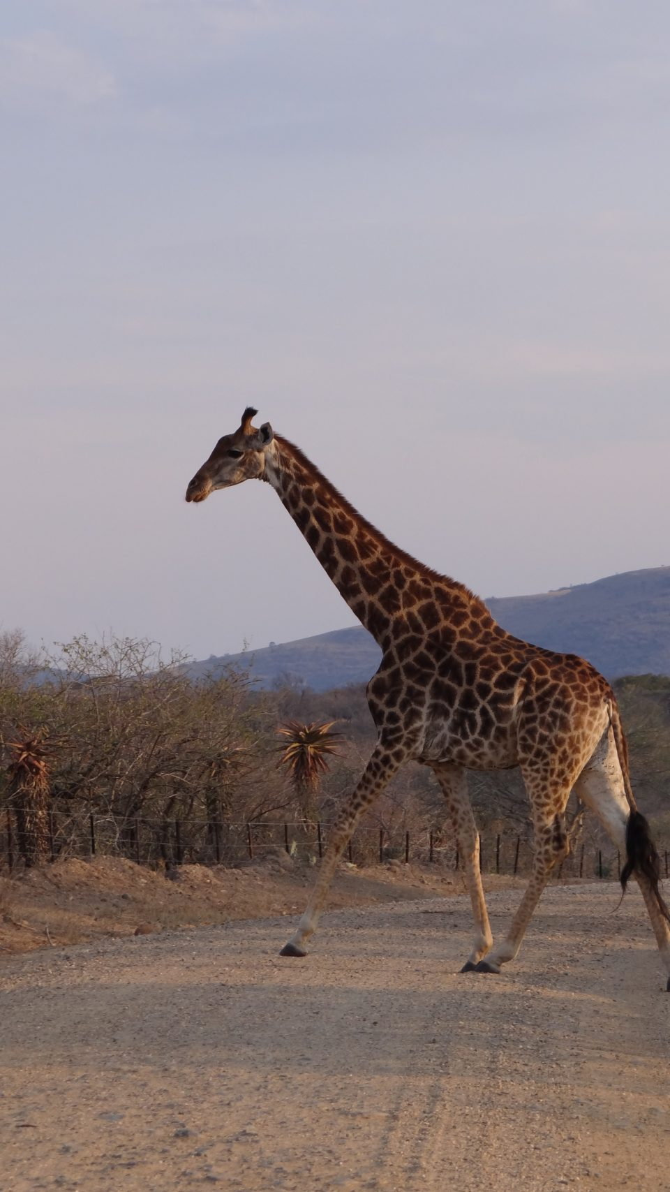 Giraffe Emakhosini Ophathe Heritage Park