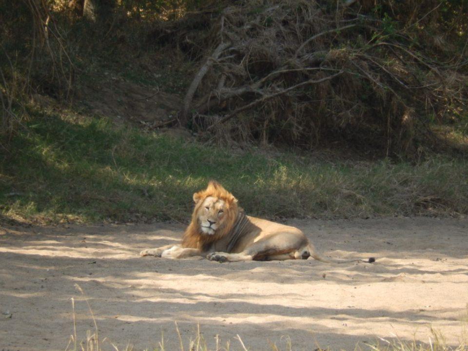 Lion Wildlife ACT