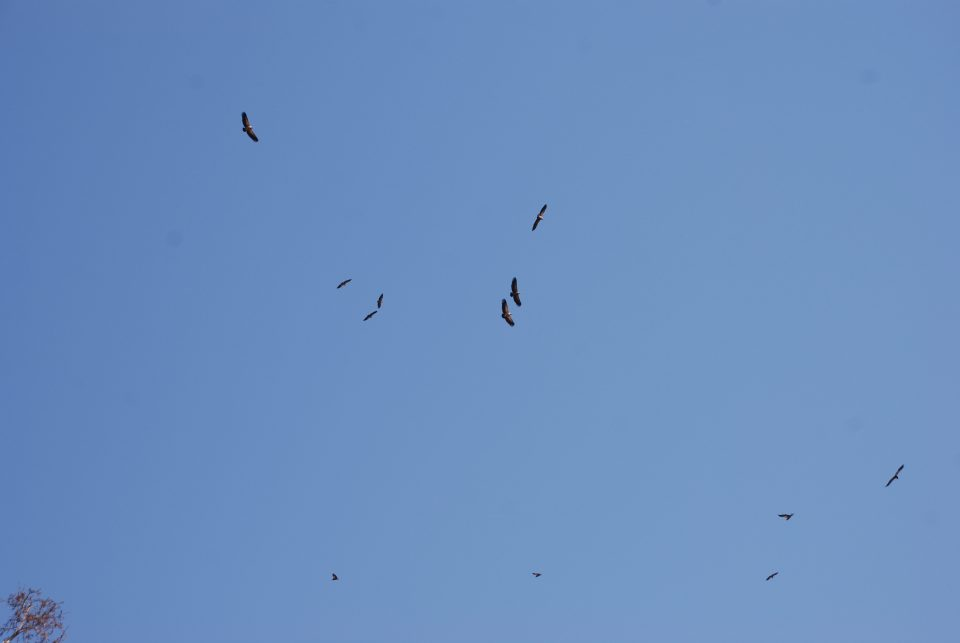 Vultures Ophathe
