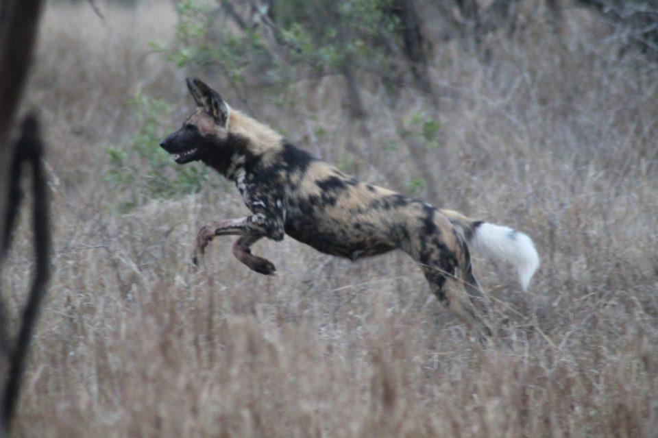 Wild dog Nile