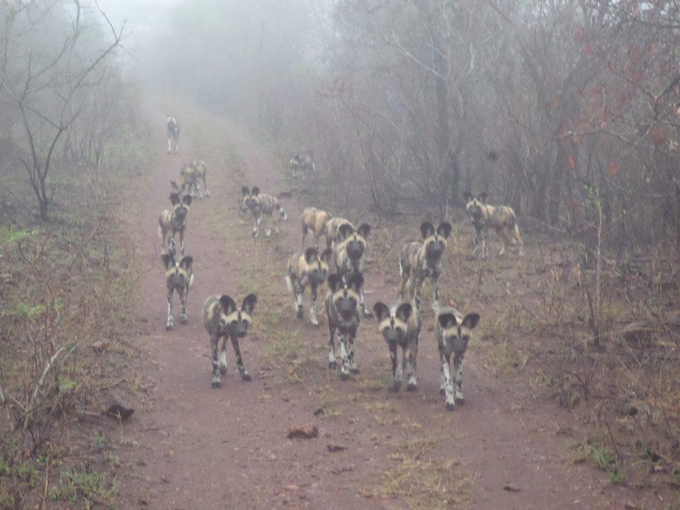 Why are Wild Dogs so Endangered