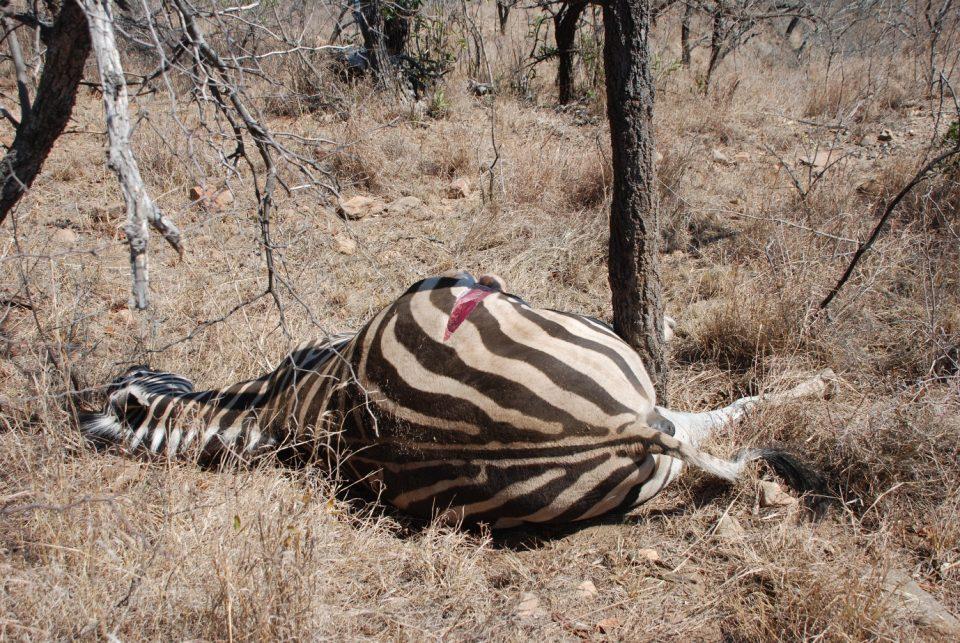 Zebra Ophathe Before vultures