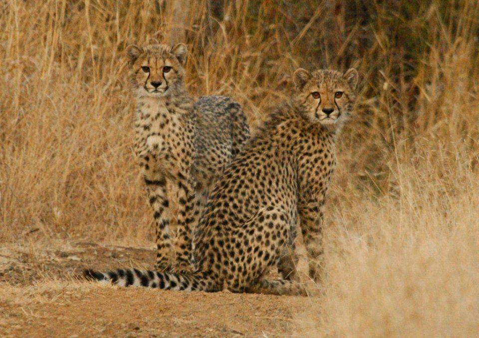 Zululand Rhino Reserve Cheetah Cubs