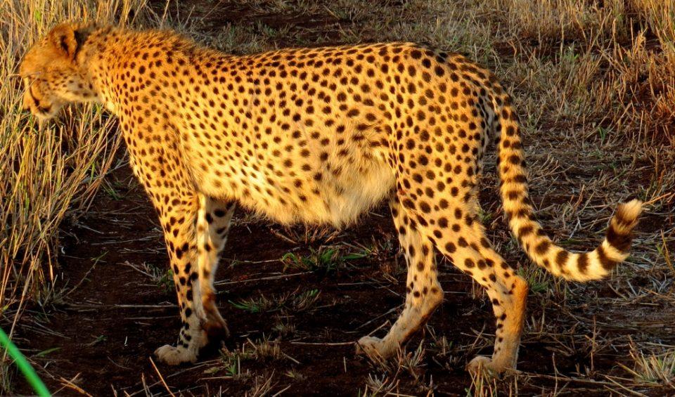 Zululand Rhino Reserve pregnant cheetah