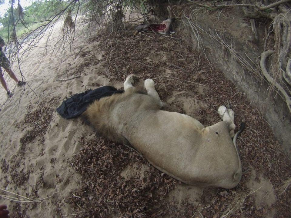 Zululand Rhino Reserve Lion