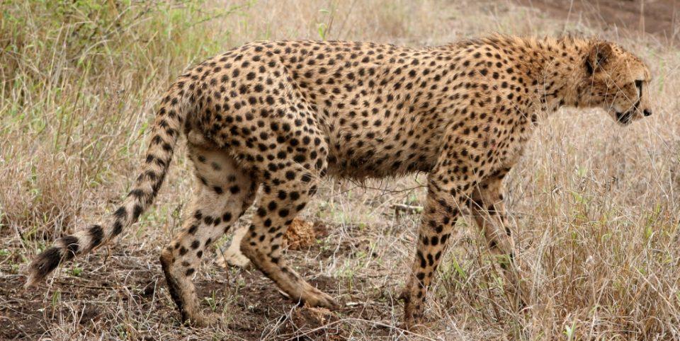 Zululand Rhino Reserve Cheetah