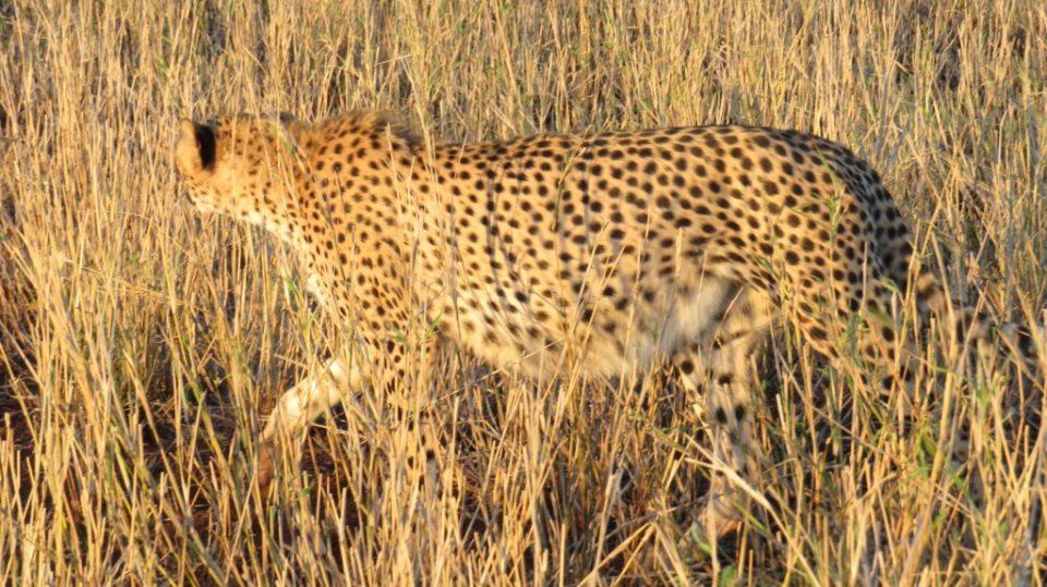 Pregnant female cheetah