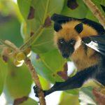 Fruit Bat. Photo by Paul Hayes