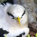 White-tailed Tropic Bird. Photo by Paul Hayes