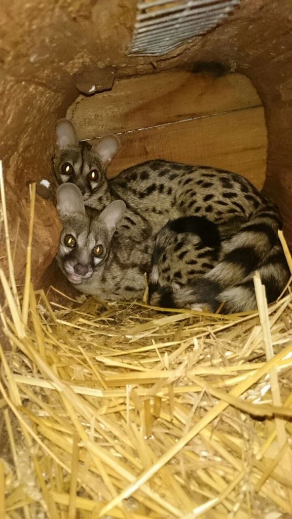 Rehabilitated genets to be released