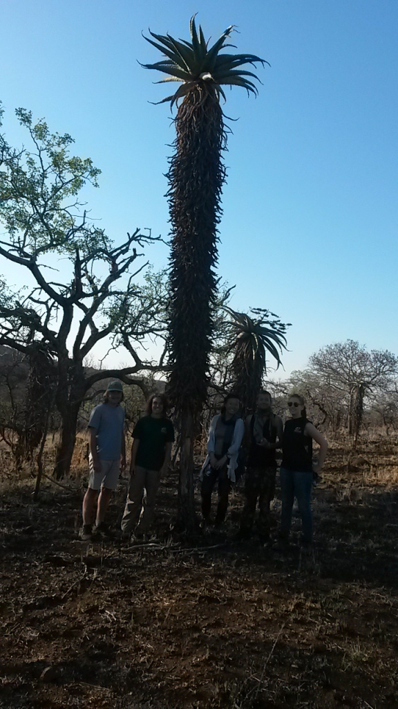 Mountain Aloe with conservation volunteers