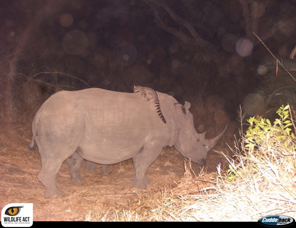 Genet and rhino Camera Traps