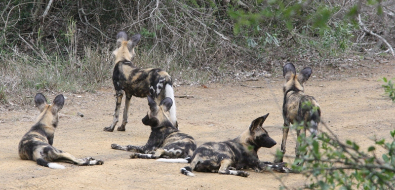 Wild dog puppies hear Zeus approaching