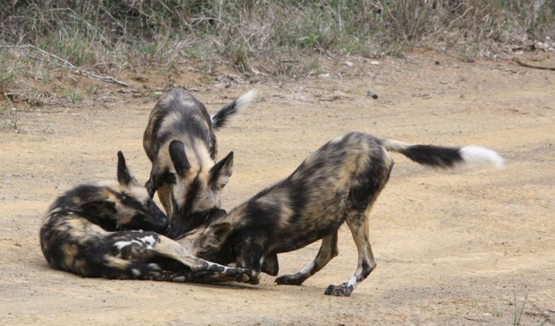 Pups playing