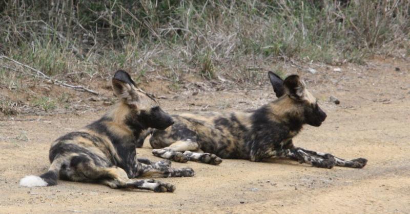 Pups resting