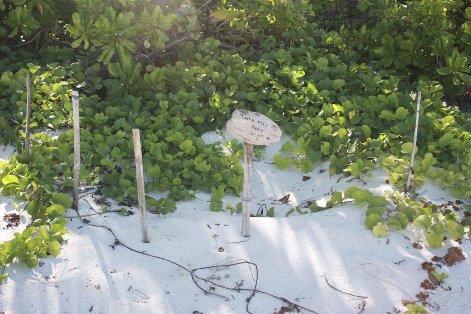 Seychelles Volunteer Diary: Marking turtle nests
